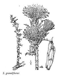 Scolymus grandiflorus