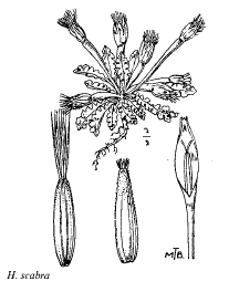 Hyoseris scabra