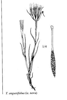 Tragopogon angustifolius