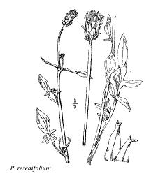 Podospermum resedifolium