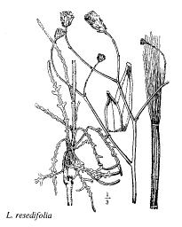 Launaea resedifolia