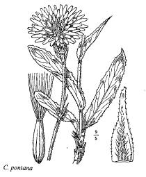 Crepis pontana