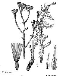 Crepis lacera