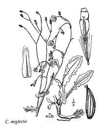 Crepis neglecta