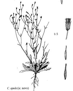 Crepis apula