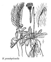 Hieracium pseudopilosella
