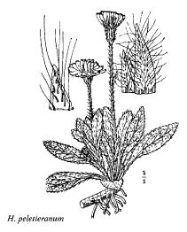 Hieracium peletieranum