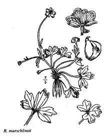Ranunculus marschlinsii