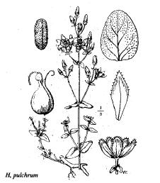Hypericum pulchrum