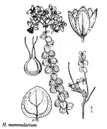 Hypericum nummularium