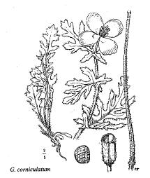 Glaucium corniculatum
