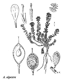 Alyssum alpestre