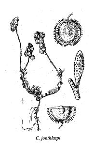 Clypeola jonthlaspi