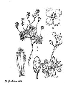 Draba fladnizensis