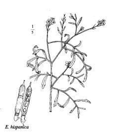 Erucaria hispanica