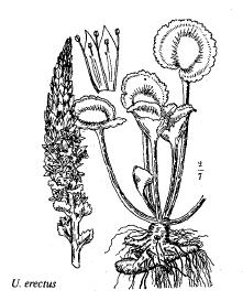 Umbilicus erectus