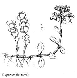 Sedum spurium