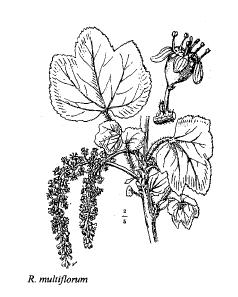Ribes multiflorum