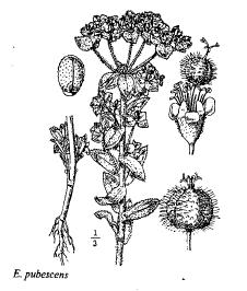 Euphorbia pubescens
