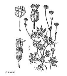 Astrantia minor