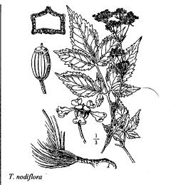Trochiscanthes nodiflora