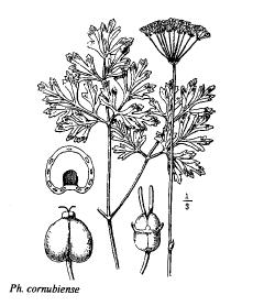 Physospermum cornubiense