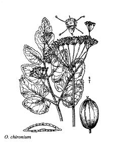 Opopanax chironium