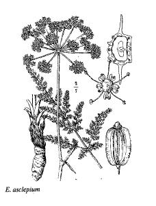 Elaeoselinum asclepium