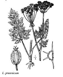 Laserpitium prutenicum