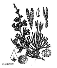 Diphasium alpinum