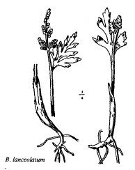 Botrychium lanceolatum