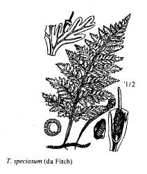 Trichomanes speciosum