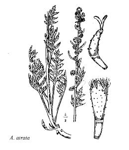 Artemisia atrata