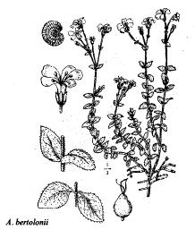 Arenaria bertolonii