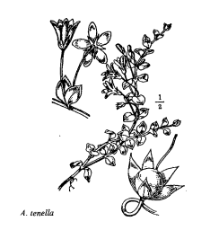 Anagallis tenella