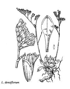 Limonium densiflorum