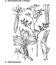 Limonium sibthorpianum