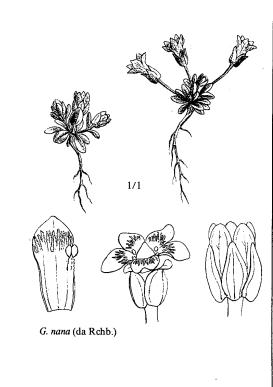 Gentianella nana