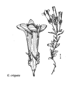 Gentianella crispata