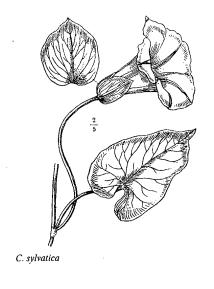 Calystegia sylvatica