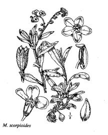 Myosotis scorpioides