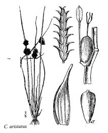 Cyperus aristatus