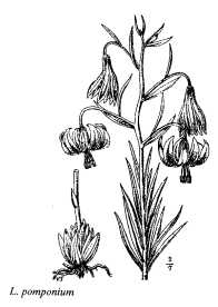 Lilium pomponium