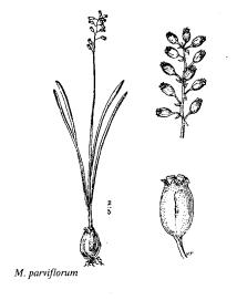 Muscari parviflorum