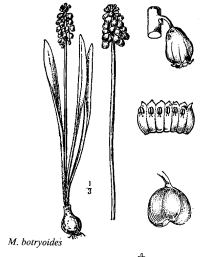 Immagine Muscari botryoides