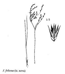 Immagine Juncus foliosus