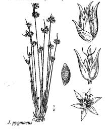 Immagine Juncus pygmaeus