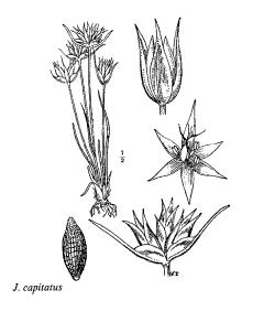 Immagine Juncus capitatus