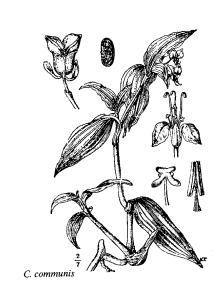 Immagine Commelina communis